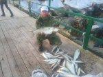 как заставить сытую планктоном рыбу клевать